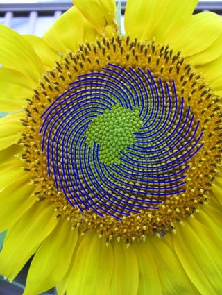 Sunflower rh spirals