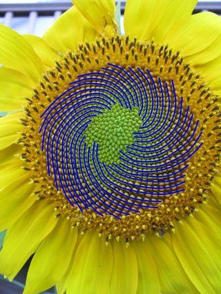 Sunflower rh spirals