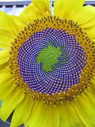 Sunflower both spirals