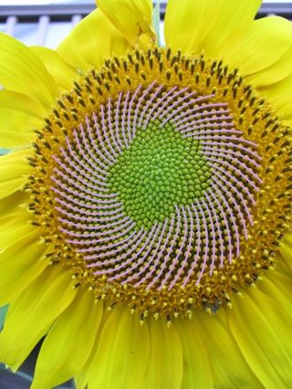 Sunflower lh spirals